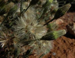 Fuzzweed Samen silber Vittadinia gracilis05