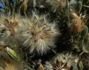 Fuzzweed Samen silber Vittadinia gracilis06