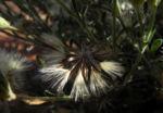 Fuzzweed Samen silber Vittadinia gracilis07