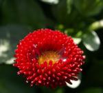 Gaensebluemchen Bluete rot Bellis perennis 02