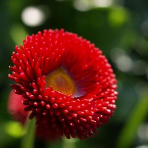 Gaensebluemchen Bluete rot Bellis perennis 03