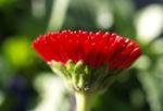 Gaensebluemchen Bluete rot Bellis perennis 05