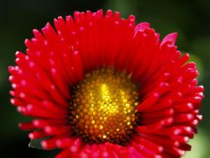 Gaensebluemchen Bluete rot Bellis perennis 06