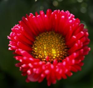Gaensebluemchen Bluete rot Bellis perennis 07