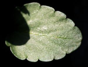 Gaensebluemchen Bluete rot Bellis perennis 10