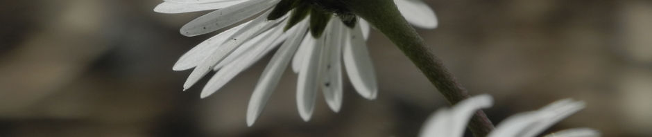 gemeines-gaensebluemchen-bluete-weiss-bellis-perennis