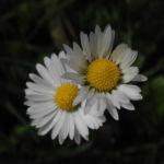 Bild: Gemeines Gänseblümchen Blüte weiß Bellis perennis