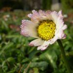Bild: Gänseblümchen Blüte weiß Bellis perennis