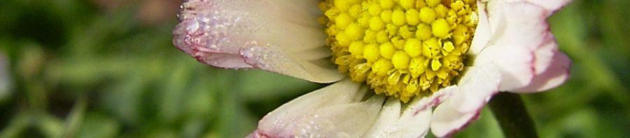 Anklicken um das ganze Bild zu sehen Gänseblümchen Blüte weiß Bellis perennis