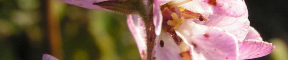 gaensedistelblaettrige-francoa-bluete-pink-francoa-sonchifolia