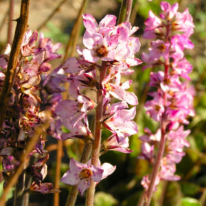 Gaensedistelblaettrige Francoa Bluete pink Francoa sonchifolia 09