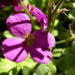 Bild: Kaukasische Gänsekresse Blüte lila Arabis caucasica