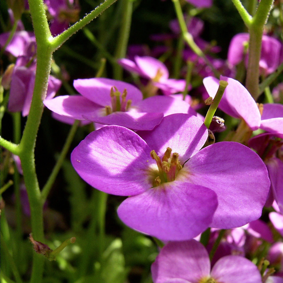 Gaensekresse Bluete lila Arabis caucasica