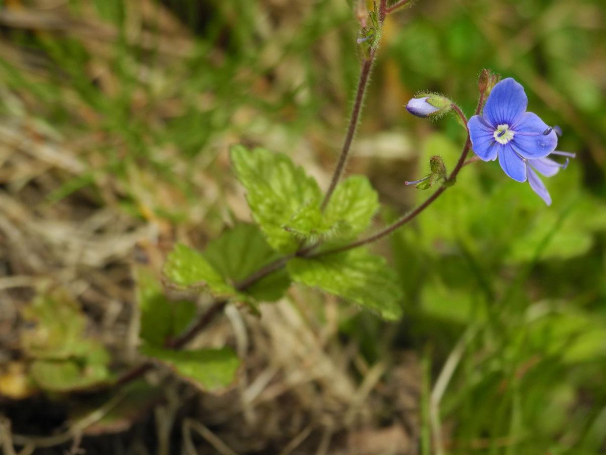 Gamander-Ehrenpreis Blüte hellblau Veronica chamaedrys