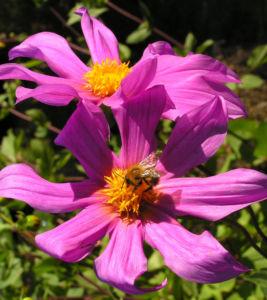 Garten Dahlie Bluete rose Dahlia pinnata 01