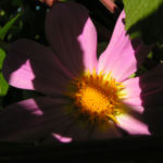 Garten Dahlie Bluete rose Dahlia pinnata 02
