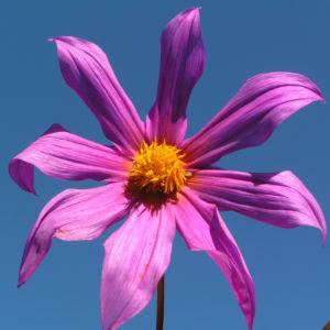 Garten Dahlie Bluete rose Dahlia pinnata 03