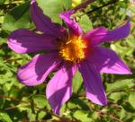 Garten Dahlie Bluete rose Dahlia pinnata 05
