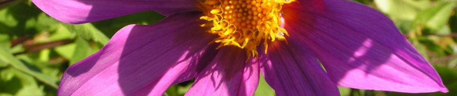 Anklicken um das ganze Bild zu sehen Garten Dahlie Blüte rose Dahlia pinnata