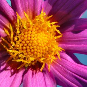 Garten Dahlie Bluete rose Dahlia pinnata 06