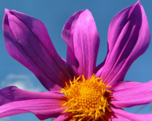 Garten Dahlie Bluete rose Dahlia pinnata 07