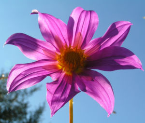 Garten Dahlie Bluete rose Dahlia pinnata 08