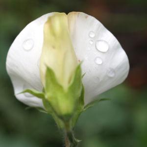 Garten Erbse Speiseerbse Blatt graun Bluete weiss Pisum sativum 01