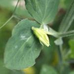 Garten Erbse Speiseerbse Blatt graun Bluete weiss Pisum sativum 02