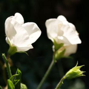 Garten Erbse Speiseerbse Blatt graun Bluete weiss Pisum sativum 03