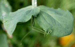 Garten Erbse Speiseerbse Blatt graun Bluete weiss Pisum sativum 06