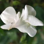 Garten Erbse Speiseerbse Blatt graun Bluete weiss Pisum sativum 07