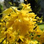 Garten Forsythie Bluete gelb Forsythia x intermedia 01