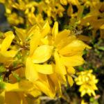 Garten Forsythie Bluete gelb Forsythia x intermedia 02