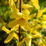Garten Forsythie Bluete gelb Forsythia x intermedia 03
