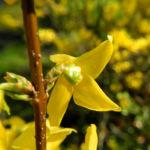 Garten Forsythie Bluete gelb Forsythia x intermedia 04