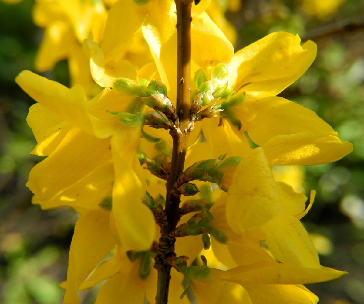 Garten Forsythie Bluete gelb Forsythia x intermedia
