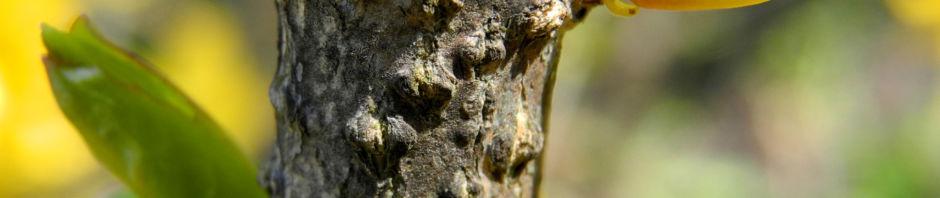 garten-forsythie-bluete-gelb-forsythia-x-intermedia