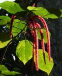 Garten Fuchsschwanz Amaranth Bluete rot Amaranthus caudatus 07