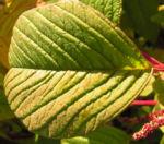 Garten Fuchsschwanz Frucht rot Amaranthus caudatus 03
