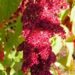 Garten Fuchsschwanz Frucht rot Amaranthus caudatus 04