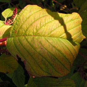 Garten Fuchsschwanz Frucht rot Amaranthus caudatus 05