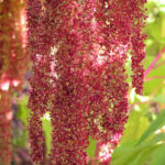 Garten Fuchsschwanz Frucht rot Amaranthus caudatus 08