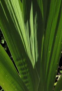 Garten Gladiole Blatt gruen Gladiolus x hortulanus 01
