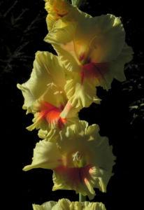 Garten Gladiole Bluete gelb Gladiolus x hortulanus 01