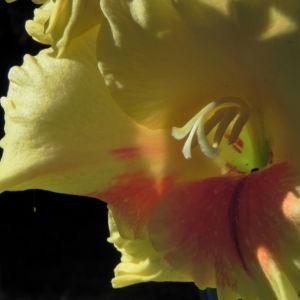 Garten Gladiole Bluete gelb Gladiolus x hortulanus 07