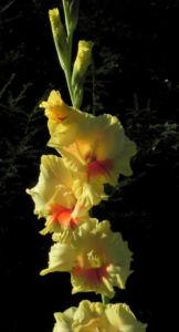 Garten Gladiole Bluete gelb Gladiolus x hortulanus 10