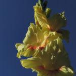 Garten Gladiole Bluete gelb Gladiolus x hortulanus 11