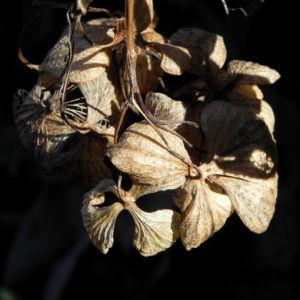 Garten Hortensie Winter Bluete braun Hydrangea macrophylla 02