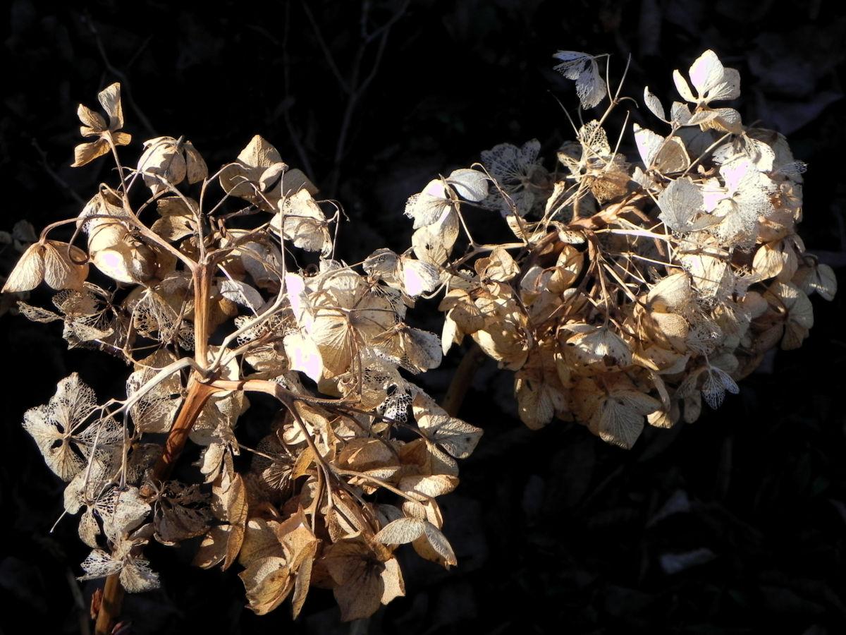 Garten Hortensie Winter Bluete braun Hydrangea macrophylla