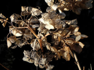 Garten Hortensie Winter Bluete braun Hydrangea macrophylla 04